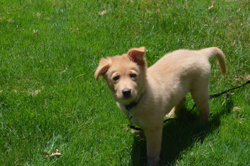 Adorable Toller Puppy on a Leash in Green Grass