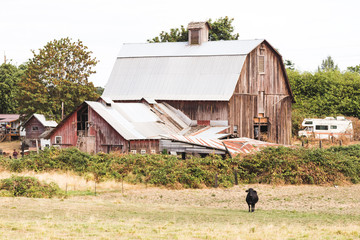 Farm House and Bull in Field