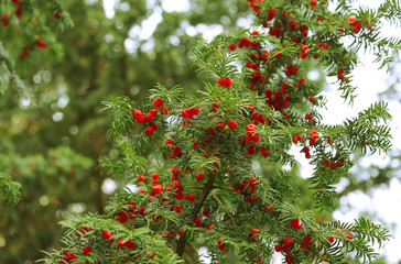 Red berries growing on evergreen yew tree branches