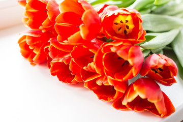 Fire red bouquet of tulips on white background