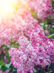 Wall Mural - Amazing view close-up beautiful lilac flowers