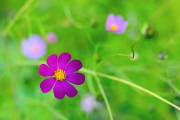 Bright summer floral natural background. One violet flower cosmos bipinnatus on a blurred green background. Garden flower - cosmeya