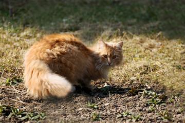 Ginger cat close-up.