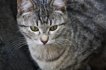 Striped gray cat.