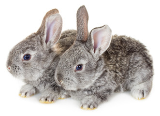 two little gray rabbits