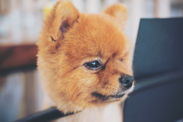 A brown pomeranian dog standing on a chair and looking at something in cafe