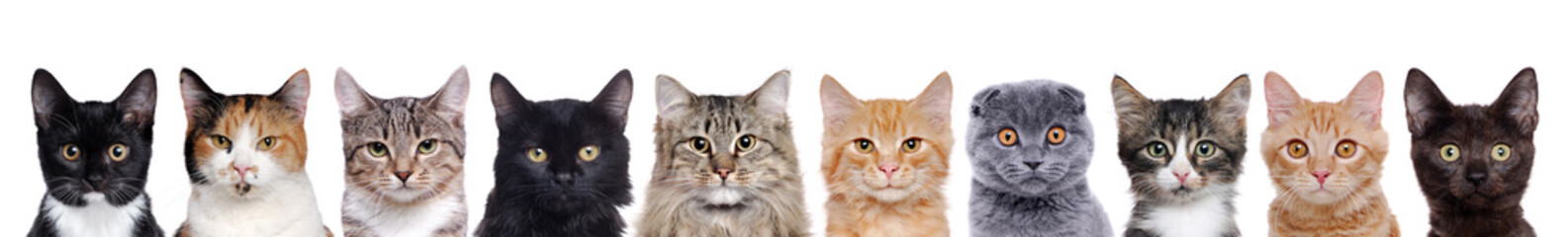 closeup portrait of a group of cats of different breeds sitting in a line isolated over white background