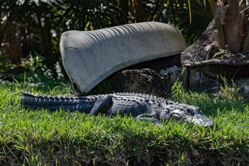 Florida Alligator in everglades near canoe