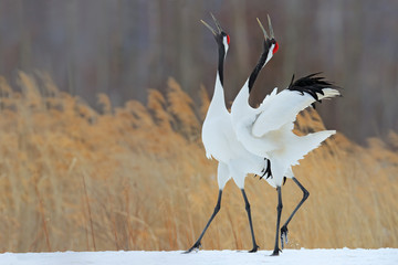 Bird behaviour in the nature grass habitat. Dancing pair of Red-crowned crane with open wing in flight, with snow storm, Hokkaido, Japan. Birds with open bill. Wildlife scene from nature. Cold winter.