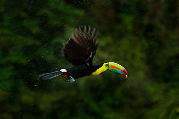 Foto op Plexiglas Toekan Flying tropic bird during strong rain. Keel-billed Toucan, Ramphastos sulfuratus, bird with big bill fly above the forest. Beautiful wildlife scene. Animal in nature forest animal, Costa Rica.