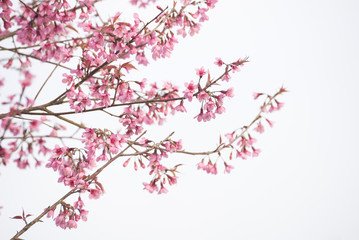 Beautiful Pink Cherry blossom in Thailand