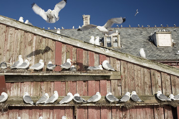 Flock of seagulls perching on wooden building
