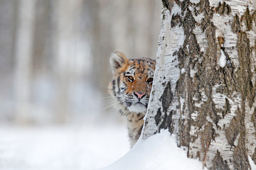 Hidden face portrait of tigre. Tiger in wild winter nature.  Amur tiger running in the snow. Action wildlife scene, danger animal. Cold winter, tajga, Russia. Snowflake with beautiful Siberian tiger.
