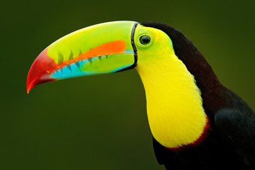 In de dag Toekan Detail portrait of toucan. Bill toucan portrait. Beautiful bird with big beak. Toucan. Big beak bird Chesnut-mandibled sitting on the branch in tropical rain with green jungle background, Costa Rica.