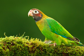 Brown-hooded Parrot, Pionopsitta haematotis, portrait light green parrot with brown head. Detail close-up portrait bird.  Bird from Central America. Wildlife scene, tropic nature. Bird from Costa Rica