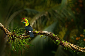 In de dag Toekan Keel-billed Toucan, Ramphastos sulfuratus, bird with big open bill. Toucan sitting on the branch, forest, Boca Tapada, green vegetation, Costa Rica. Nature travel, central America.Trees with bird.