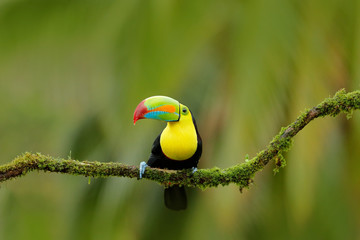 Wall Mural - Keel-billed Toucan, Ramphastos sulfuratus, bird with big bill. Toucan sitting on the branch in the forest, Boca Tapada, green vegetation, Costa Rica. Nature travel in central America.