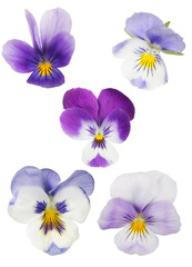 set van vijf geïsoleerde viooltjesbloemen