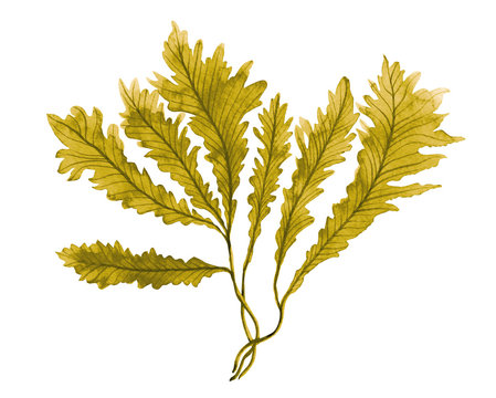 Brown Seaweed ,Kelp watercolor hand painted element isolated on white background. Watercolor brown seaweed illustration design. With clipping path.