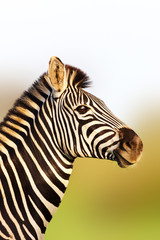 Fototapete - Zebra portrait in soft golden sunlight with an upright posture. Equus quagga. Kruger National Park