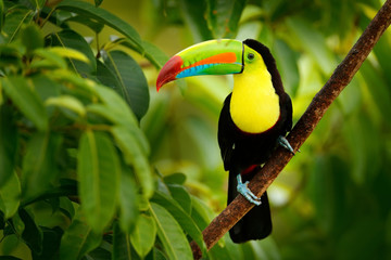 Foto op Plexiglas Toekan Keel-billed Toucan, Ramphastos sulfuratus, bird with big bill. Toucan sitting on the branch in the forest, Boca Tapada, green vegetation, Costa Rica. Nature travel in central America.