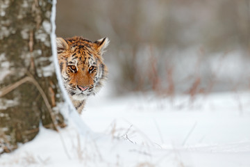 Hidden portrait of wild cat. Siberian tiger in snow fall, birch tree. Amur tiger sitting in snow. Tiger in wild winter nature. Action wildlife scene with danger animal. Cold winter in tajga.