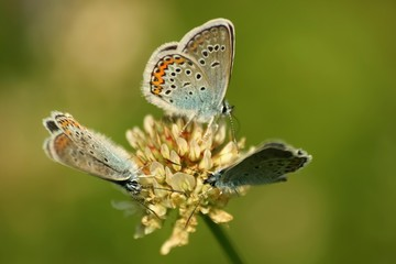 Close up of a beautiful butterfly (Common Blue,Polyommatus icarus)