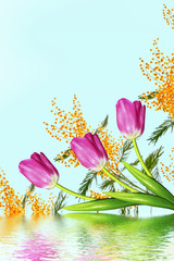 Bright and colorful spring flowers of tulips and mimosa.