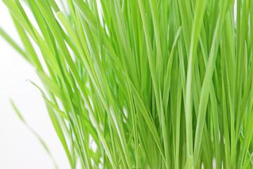 Fresh Spring Grass Closeup