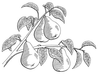 Pear fruit graphic branch black white isolated sketch illustration vector