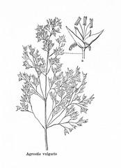 Common bent (Agrostis capillaris) (from Meyers Lexikon, 1895, 7/876/877)