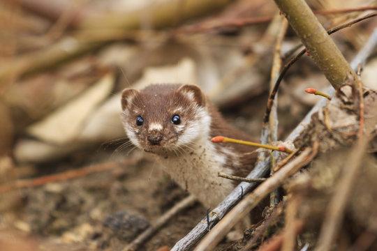 Least weasel looks from mink among fallen leaves