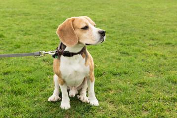Beagle sitzt auf dem Rasen
