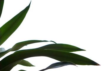Leaves green slender on a white background.