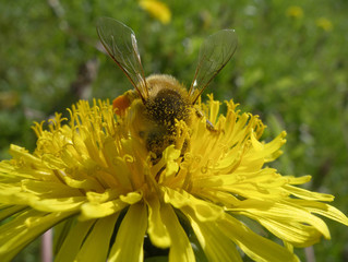 Bee on yellow bright dandelion