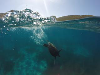 plongeon d'une tortue sous marine