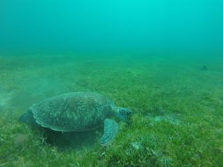 une tortue sous marine se nourrie