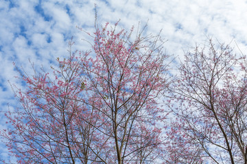 Winter pink cherry blossom (Sakura) flower foliage against sky backgrounds