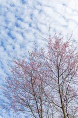 Winter pink cherry blossom (Sakura) flower foliage against sky backgrounds
