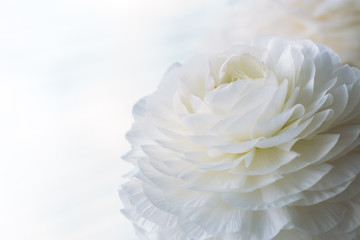 Peony flower. Flowers background for your spring design concept