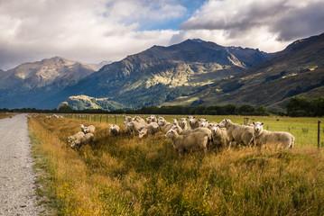 Troupeau de moutons en Nouvelle-Zélande