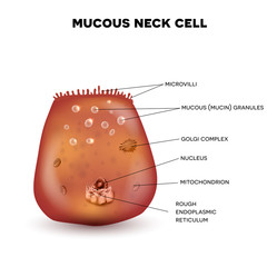 Mucous neck cell of the stomach wall. Beautiful colorful drawing on a white background