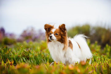 Papillon dog standing in field