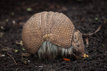 Fototapete - Southern three-banded armadillo (Tolypeutes matacus)