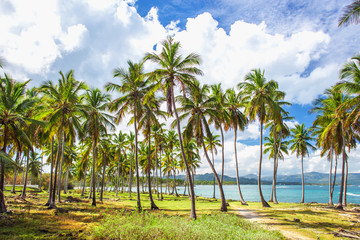 Group of palm trees on the green lawn near the ocean. Vacation concept. Samana, Dominican Republic