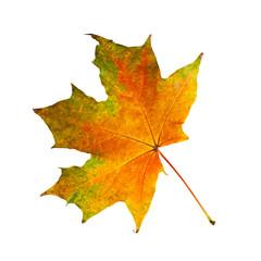 Beautiful autumn maple leaf isolated on white background.