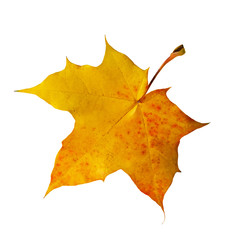 Bright yellow autumn leaf maple isolated on white background.
