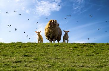 Schaf, Deich, Lämmer, Nordsee