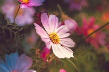 cosmos flower close up