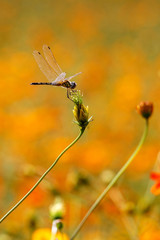 A yellow dragonfly standing on weed